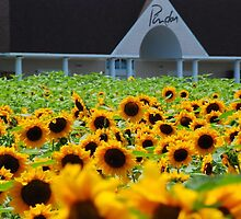 Sunflowers at Pindar Winery > by John Schneider