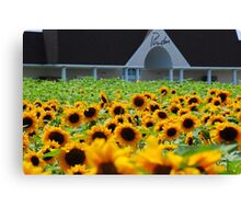 Sunflowers at Pindar Winery > Canvas Print