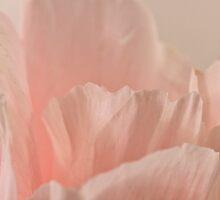 Godetia Petals by Sandra Foster