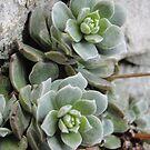 Rose Cactus by heathernicole00