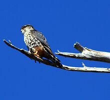 Hawk by HALIFAXPHOTO