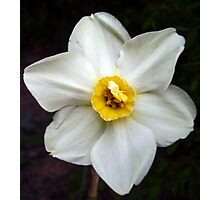 Small Cupped Daffodil Photographic Print
