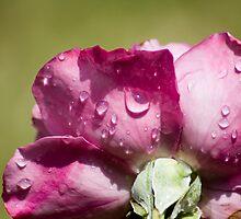 Petal Water by Donna Adamski