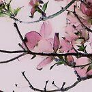 Magnolia by Judi Taylor
