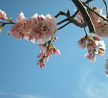 Blossoms & Sky by TabithaPayne