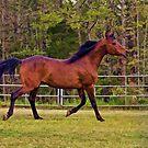 Bay Arabian Stallion by Sharon Morris