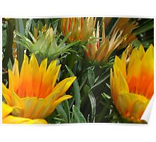 Close Up Of Flowering Gazania In A Garden Poster