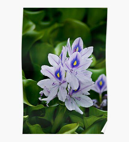 Water Hyacinth Poster