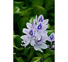 Water Hyacinth Photographic Print