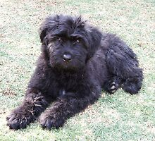 Funky Bouvier des Flandres
