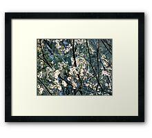 Salix Blossoms and Light Framed Print