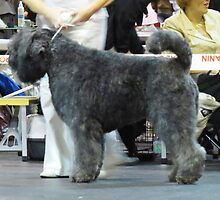 Unbelievable Bouvier des Flandres
