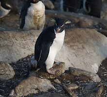 Rock Hopper Penguin - Saunders Island, Falkland Islands by flash62au