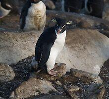 Rock Hopper Penguin - Saunders Island, Falkland Islands by flash62au