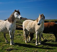 Horses, Pembrokeshire by Thomas Peter