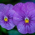 Violas by Keith G. Hawley