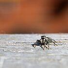 Zebra Jumping Spider by GreyFeatherPhot