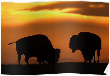 Bison Sunset by William C. Gladish