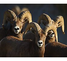 A Group of Rams Photographic Print