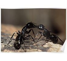 Ants Kissing Poster