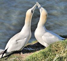 Gannets on Bempton Cliffs. by Lilian Marshall