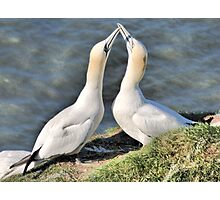 Gannets on Bempton Cliffs. Photographic Print