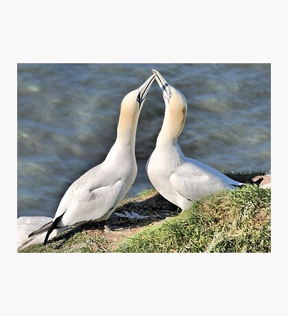 Gannets on Bempton Cliffs. Photographic Print