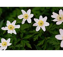 White Wild Anemone Photographic Print