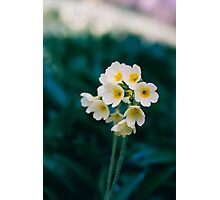 Wild White Flowers Photographic Print