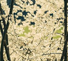 Springtime White Blossoms by PatiDesigns