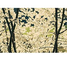 Springtime White Blossoms Photographic Print
