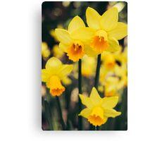 Yellow Daffodil Flowers Canvas Print