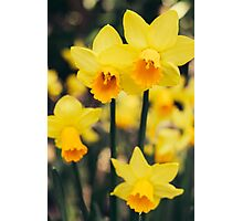 Yellow Daffodil Flowers Photographic Print