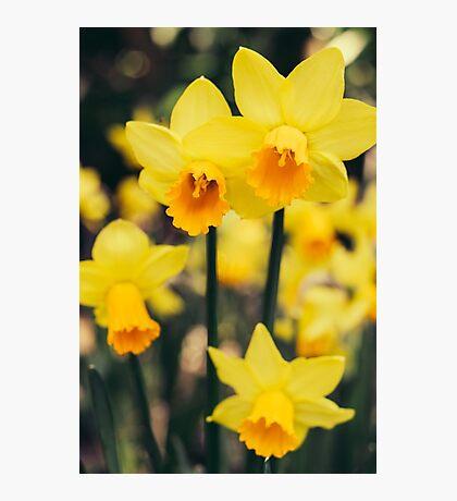 Yellow Daffodil Flowers Photographic Print