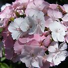Pretty Pink Sweet William... by DonnaMoore