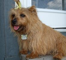 Furry Norfolk Terrier
