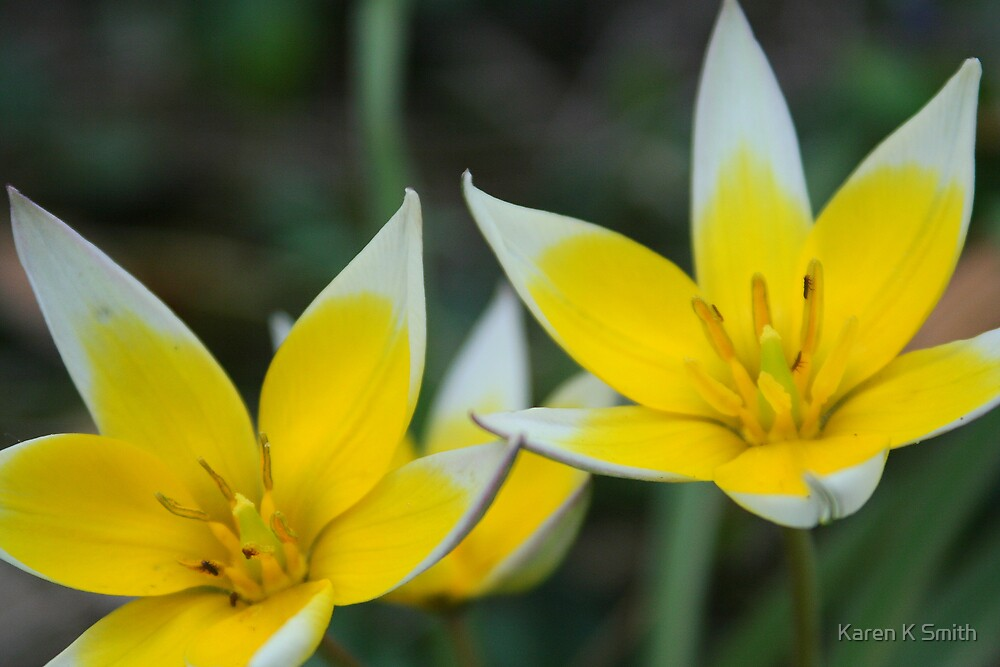 Tulip Twins by Karen K Smith