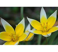 Tulip Twins Photographic Print