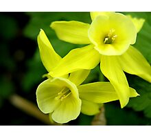 Miniature Daffodils Photographic Print