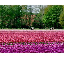 COWS AND TULIPS Photographic Print