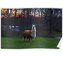 Furry farm animal Poster