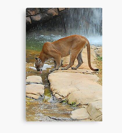 Cougar Canvas Print