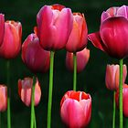 Tulips Underexposed by linda lowry