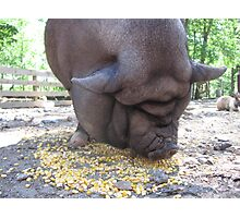 Pot Belly Pig Wrinkles Photographic Print