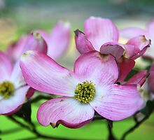 Dogwood in Bloom by linda lowry