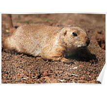 Crawling (Prairie dog) Poster