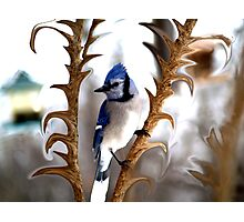 Special Effects of the Blue Jay. Photographic Print