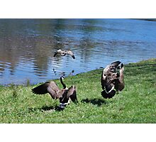 Canadian Geese In Flight Photographic Print