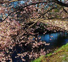 Cherry Blosson over Charles River by LudaNayvelt