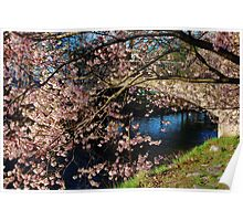 Cherry Blosson over Charles River Poster